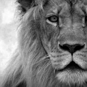Why a lion?